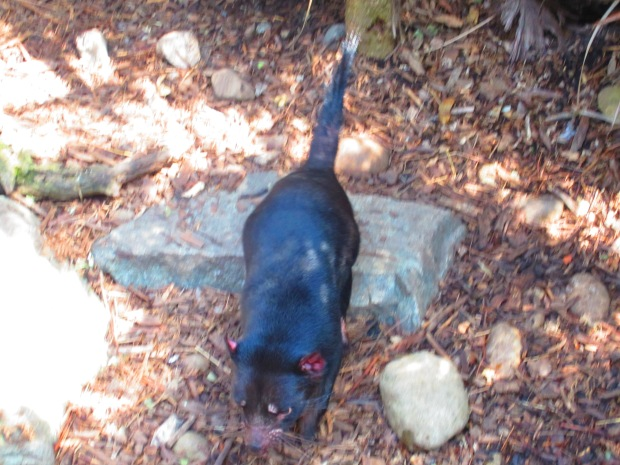 Here's a Tasmanian devil. They're shy little creatures and fast, which made getting a good pic pretty much impossible.