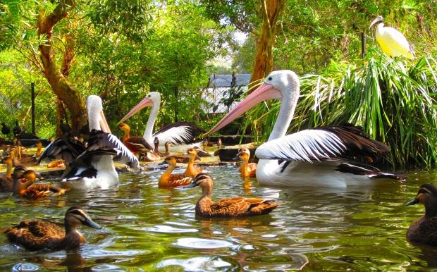 A few Australian pelicans swimming among the ducks.