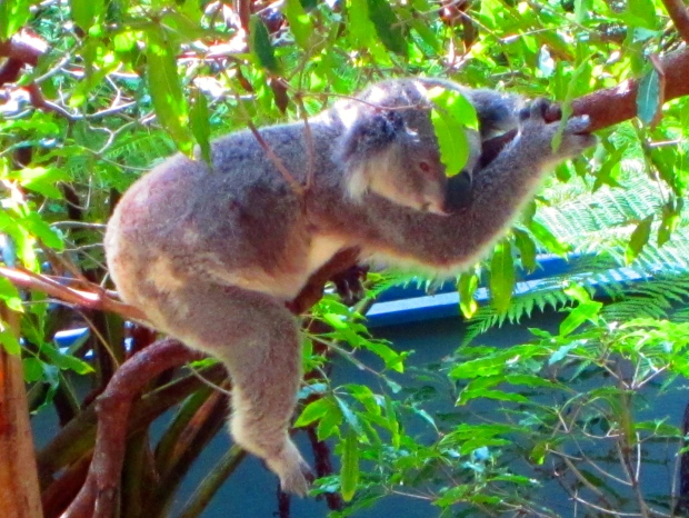 Did you know koalas sleep up to 20 hours a day? And rather precariously at that.