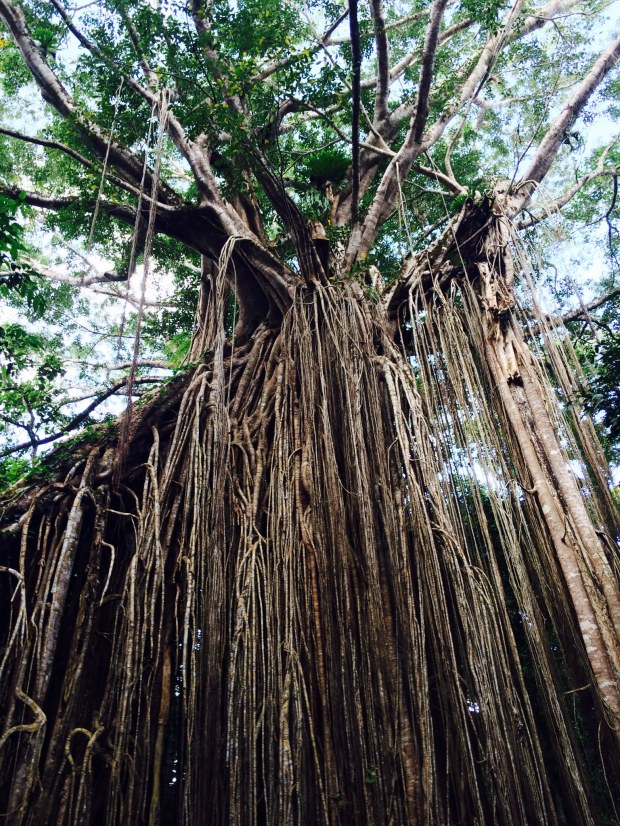 Crazy fig tree with roots like we'd never seen before.